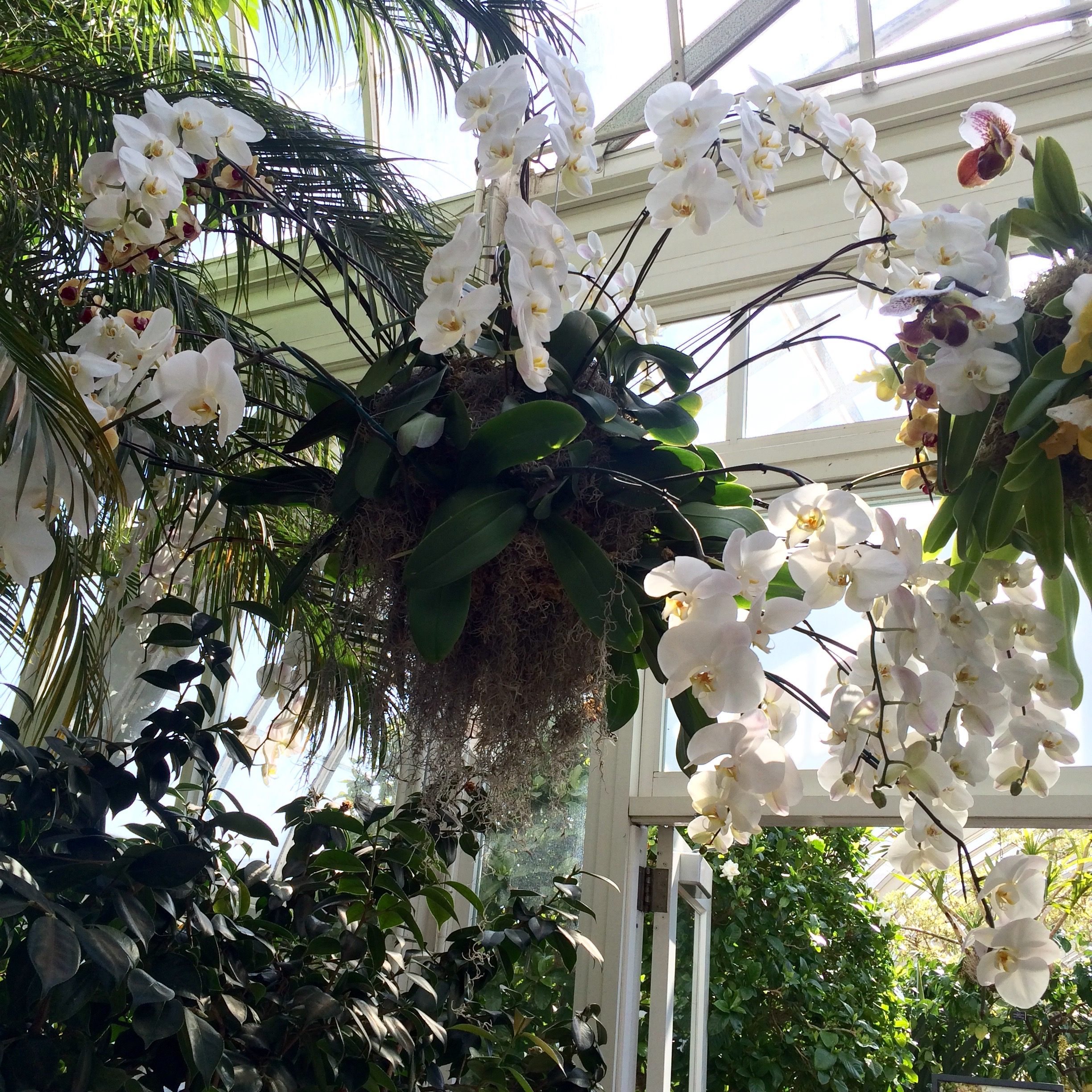 A breathtaking day at the orchid show one of my favorite displays was the huge chandelier of white orchids it actually gave me some wedding ideas while standing under it mozeypictures Gallery